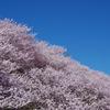 一の堰ハラネ 春めき桜
