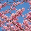 カワヅザクラとマンサクの花