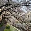 春爛漫の桜花(神田川沿い)