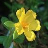 ポーチュラカは環境にやさしい花