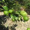 農業日誌・・・レモンの秋芽摘み