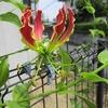 ちょっとピンボケ、グロリオサとベコニアの花。