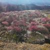 三重県いなべ市にある梅林公園の梅まつりと上石津の水谷で味噌カツ食べてきた話