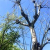 アオギリの葉