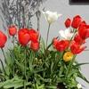 庭先の花と桜
