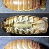 グソクムシの1種(くまの灘産)