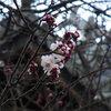 高崎城址公園周辺散歩 梅の開花・浅間山・洗濯板のような雲