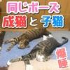 同じポーズで寝る子猫と成猫!見事に一緒w