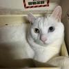 オッドアイの白猫 その3(=゚ω゚)ノ by夫