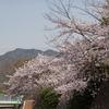 神戸)都賀川散歩。桜がまだまだきれい。
