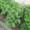 校舎南の畑(花壇)に育つ野菜など