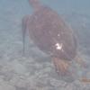 ハワイ島シュノーケリングでウミガメをみてワクワクする