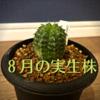 8月に購入した植物を紹介。実生株を購入。亀甲竜やユーフォルビアなど。