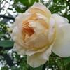 2015【無農薬でバラ栽培】マルク・アントン・シャルポンティエ