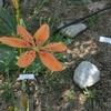 ヒオウギの花