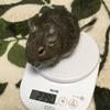 デグーの体重、なぜ測るの?デグーの健康のために知っておきたい測定値の解釈について