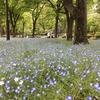 日比谷公園に行ってきましたーその1.ネモフィラ・つつじなど開花状況ー