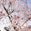 地元の桜 2021「天野山金剛寺」Ⅱ