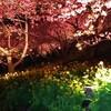 桜見物ファイナル・・・かな?