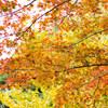 【2017/11/13 鎌倉紅葉情報】鎌倉 源氏山公園を散策しました。