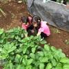 イチゴ収穫!!&オクラの種蒔き!