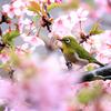 花にメジロの春は来ぬ