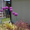 仄かにニンニクの香りがする?丸くて紫色の「ギガンチウム」