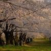 再び千本桜へ
