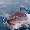 古代生物である巨大サメのメガロドンが生存している可能性が高まった!?