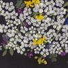 押し花(3)ユキヤナギの白い雲