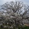 関宿・中ノ島公園のこぶしの木 2013年