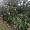 【ニューヨーク州】ナイアガラ帰りにりんご狩り