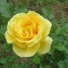 般若の独り言~黄色いツルバラ