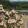 霊園風景 その28   「‥‥たおやかに大手毬の花」
