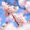 【小石川植物園】寒桜が見頃、梅が咲き始めました。