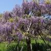 横須賀の「しょうぶ園」では藤の花が綺麗でした☆5月5日迄「ふじまつり」開催中
