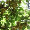 梅の収穫=恒例年中行事の『お庭でジンギスカン』