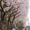 瀬谷区 海軍道路の桜