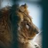 シリアの動物園で見捨てられていた動物が、ヨルダンに移送