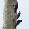 ベリーズ 電柱が大好きな Acorn Woodpecker(エイコーン ウッドペッカー)