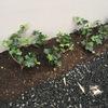 外構工事依頼分完結!宿根草が便利!ブルーグラスが良い感じ!