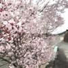 桜の花開き