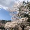 2021年3月26日 京都宝ヶ池桜状況 今週末が見ごろです。