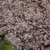 満開の椿寒桜【兼六園・上坂口】(速報)