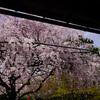 妙心寺退蔵院の枝垂れ桜で悪戦苦闘する@2018