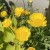 風に揺れる黄花が素敵! クリサンセマム・ムルチコーレ「アップライトイエロー」