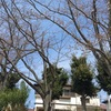 桜はまだみたいです。戸頭公園に行ってみたけど。