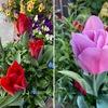春の花2 世界中で愛されている花チューリップ.日本でもまだまだ人気が高い花.国花としているのは,発祥の国(アフガニスタン),栽培化した国(トルコ),品種改良して世界に広めた国(オランダ).トルコには,チューリップの宮殿と呼ばれている世界遺産もあります.チューリップと言えばオランダ!と思ってしまいますが,オランダに負けていないのがトルコ.チューリップという名前は,トルコからヨーロッパに渡ったときに生まれた言葉でトルコ語のターバンから.