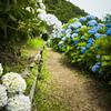 4分咲きも見ごろ、14分咲きも見ごろ『形原温泉・あじさい祭り』
