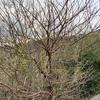 【蚕】桑の木を発見!ご紹介します!!